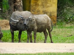 Asian Swamp Water Buffalo