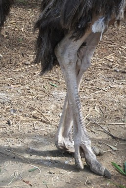 Why does the ostrich have four knees?