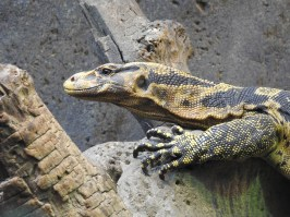 Yellow-Headed Water Monitor Lizard