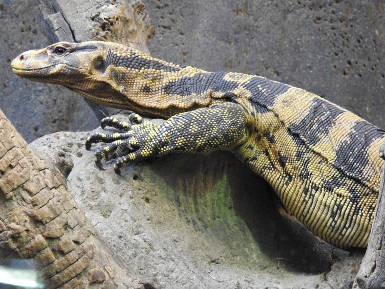 Mindanao Water Monitor Lizard