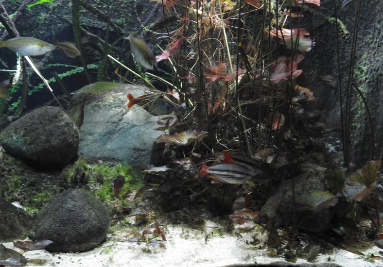 Western Rainbowfish