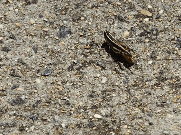 Lamenting Grasshopper
