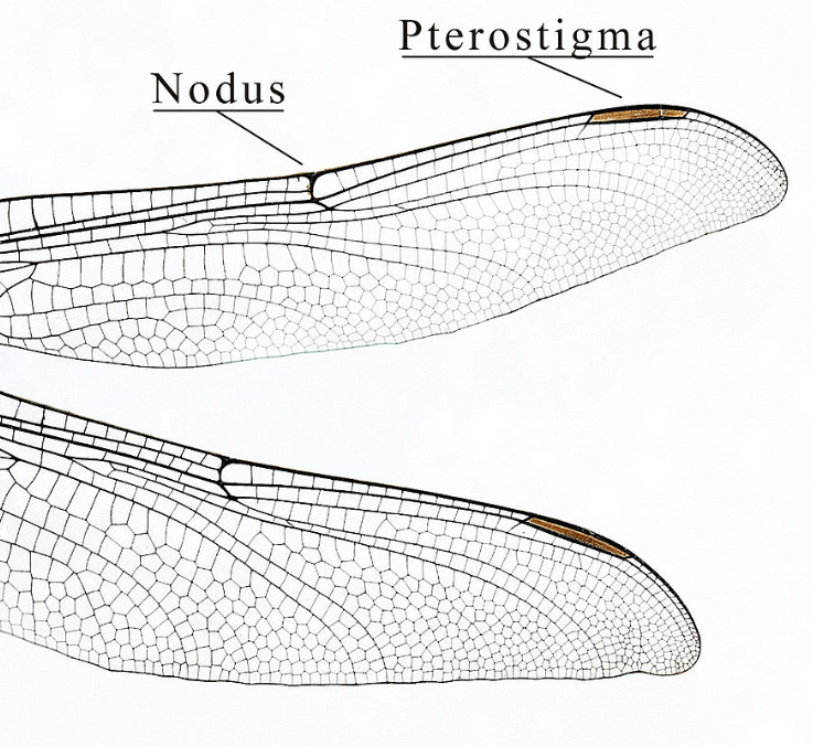 Dragonfly wing structure