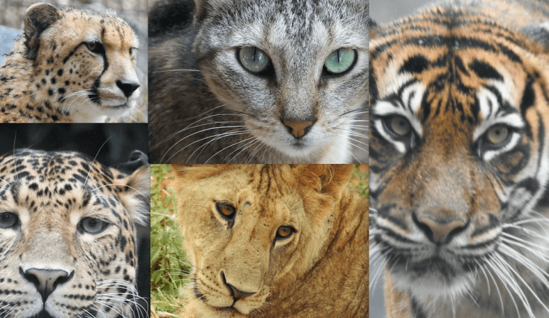 Cat Cheetah Leopard Lion Tiger Eyes What S The Difference Similar But Different In The Animal Kingdom