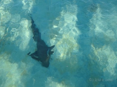 Great Guana Cay requin nourrice