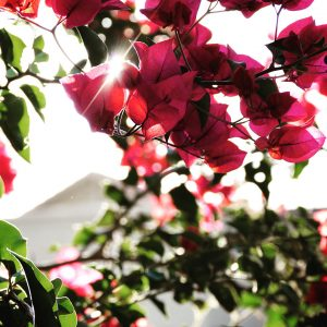 Morning light filtered through bougainvillea bracts.