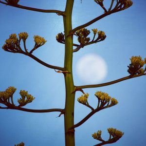 Giant blue agave inflorescence holds the full moon.