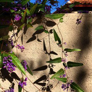 Purple-flowering vine scaling a wall in Civano.