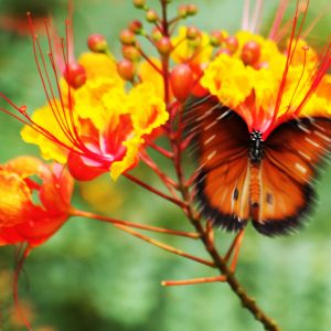 Queen butterfly on red bird of paradise in Civano, southeast Tucson.
