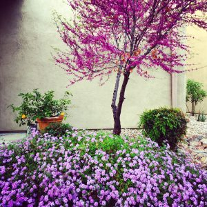 Lantana and Mexican redbud bloom at a bed and breakfast in Civano.