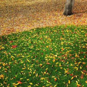 Chinese elm leaves on a park lawn in the community of Civano.