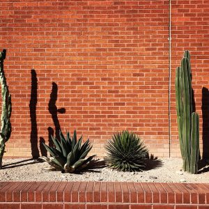 Cactus and agave against a brick wall on the University of Arizona campus.