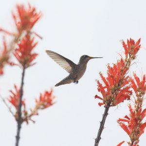 Hummingbird among ocotillo blooms at the Arizona-Sonora Desert Museum.