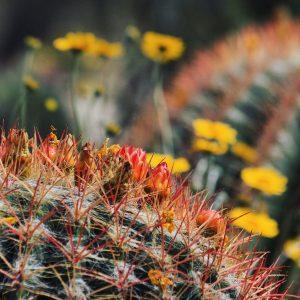 Fishhook barrel cactus and desert marigolds all a'bloom.