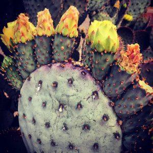 Santa Rita prickly pear blooms.