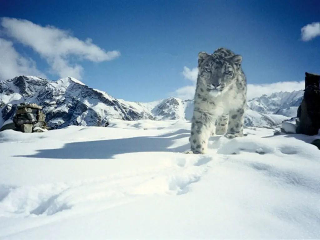 schneeleopard-ladakh