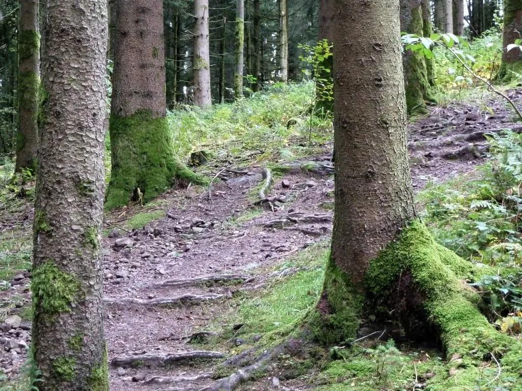 westweg-farrenkopf-wurzel-trail