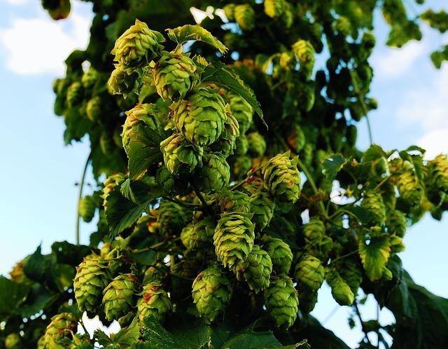 10 plante care ajuta la ingrijirea tenului - hameiul