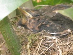 Noch sind sie im Nest, die kleinen, ganz schön großen Amselküken