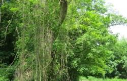 Weg mit dicht bewachsenem Wegesrand und Ranken, die sich um Bäume schlingen