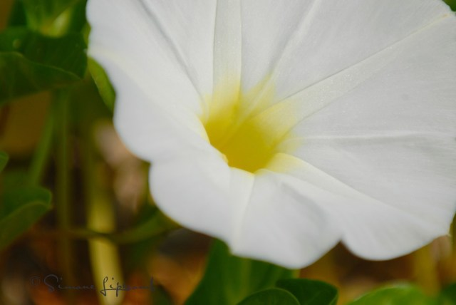 morningglory (1)