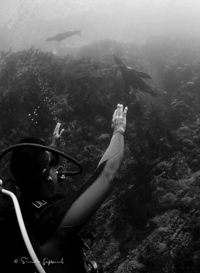 Gil, our dive master, greeting the sea lions.