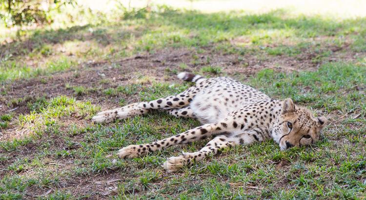 Baby Cheetah in de opvang