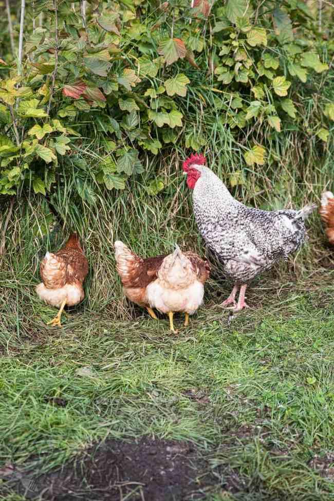 Groepje kippen in de boomgaard