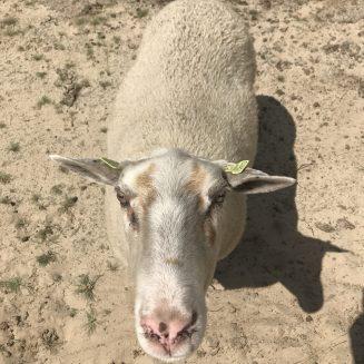 Loonse en Drunense Duinen - schapen