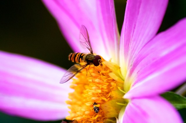 A picture of a hoverfly on a flower