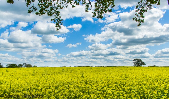 Oil seed field in Hertfordshire 1