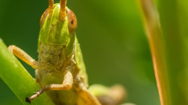 Tamron 90mm f/2.8 macro picture - Macro shot of a Grasshopper