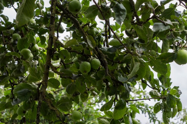 Wimpole Hall in Cambridgeshire pictures - Apples in the orchard