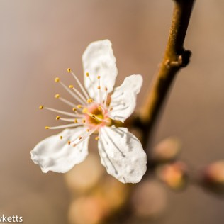 Sony Nex 6 with Tamron 90mm macro lens - Tree blossom
