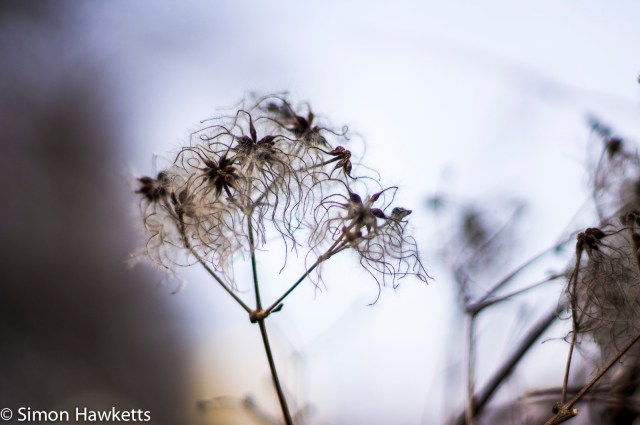 Pentax SMC 50mm f/1.7 prime lens samples - Seed head