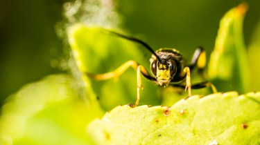 Sony Nex 6 and Tamron 90mm f/2.8 macro pictures - Wasp face