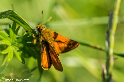 Sony Nex 6 and Tamron 90mm f/2.8 pictures - Small skipper butterfly