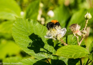 Sony Nex 6 and Tamron 90mm f/2.8 pictures - Bee