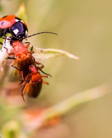 Tamron 90mm f/2.8 macro pictures - Ladybird and soldier beetles