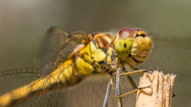 Macro picture of Dragonfly - Caught in profile