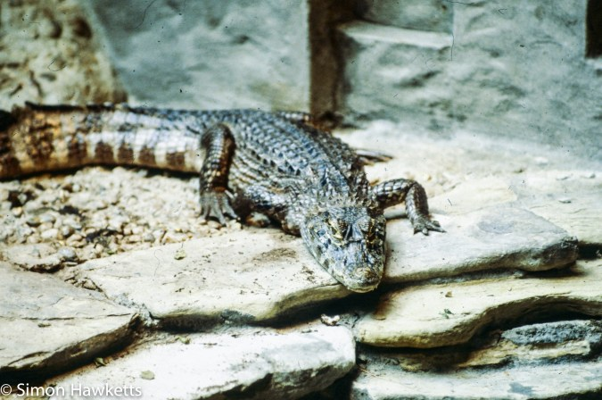 35mm colour slide pictures from London Zoo in the early 1980s - Alligator or crocodile