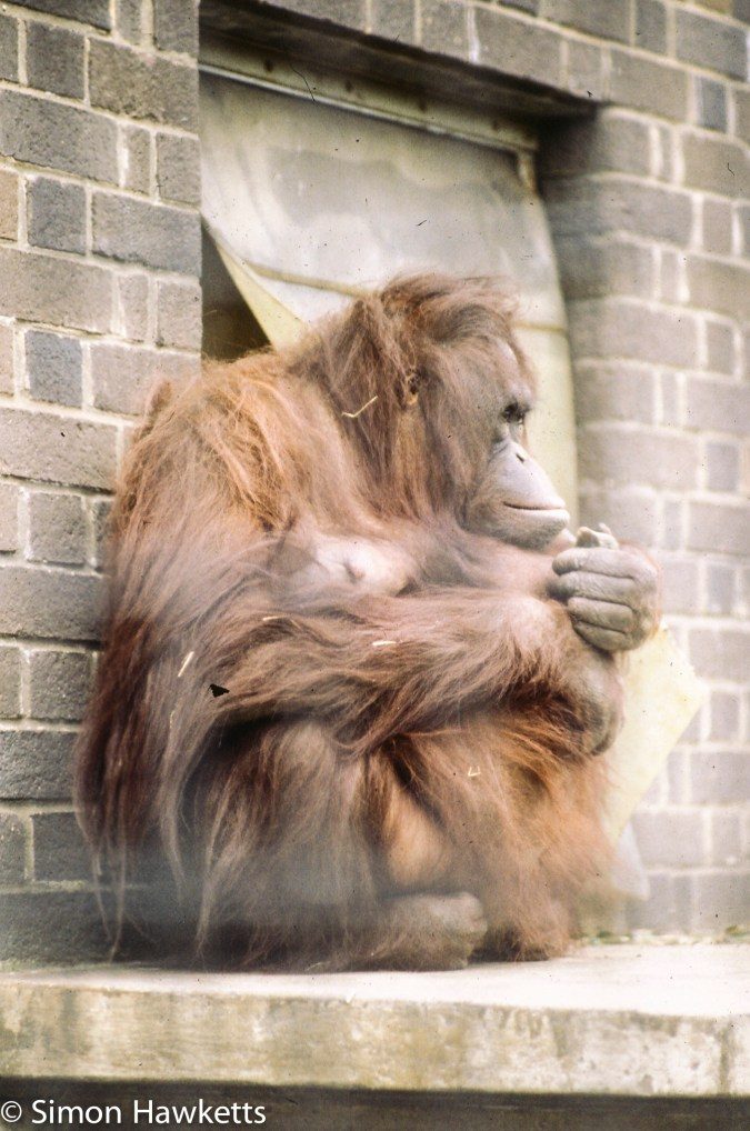 35mm colour slide pictures from London Zoo in the early 1980s - Orangutan