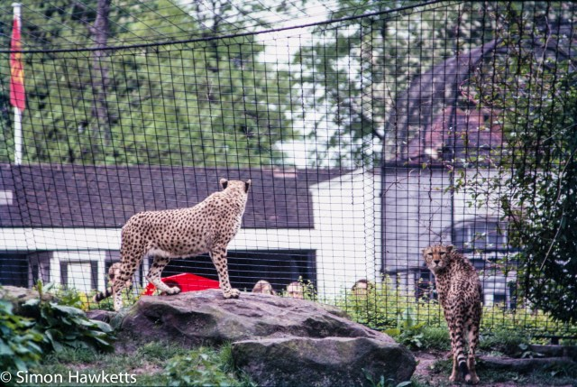 35mm colour slide pictures from London Zoo in the early 1980s - Cheetah