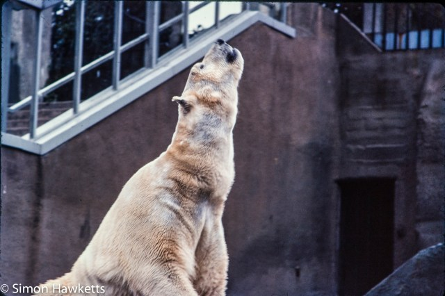 35mm colour slide pictures from London Zoo in the early 1980s - Polar Bear