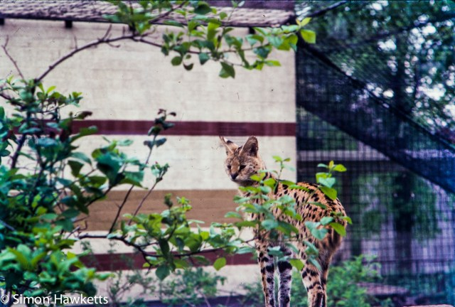 35mm colour slide pictures from London Zoo in the early 1980s - Lynx?