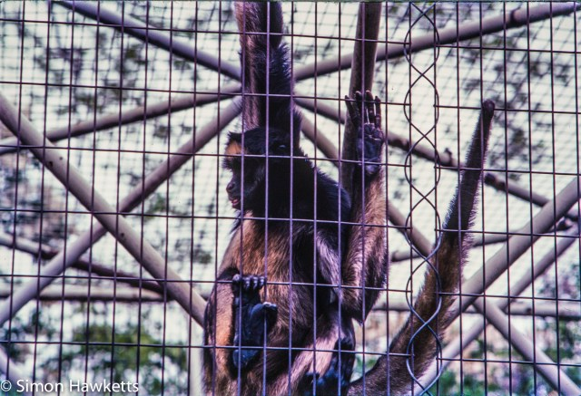 35mm colour slide pictures from London Zoo in the early 1980s - Primate of some sort