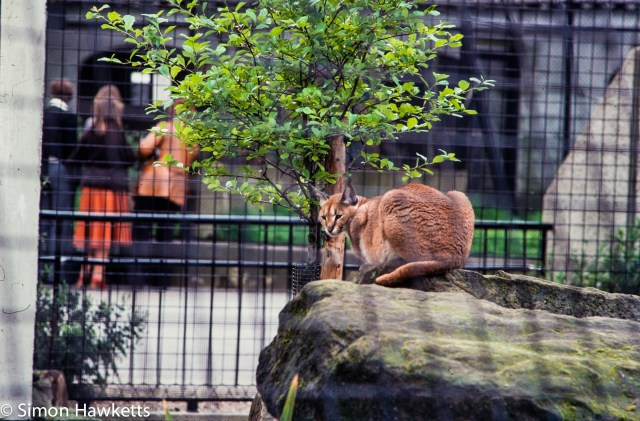35mm colour slide pictures from London Zoo in the early 1980s - Big Cat (Caracal?)