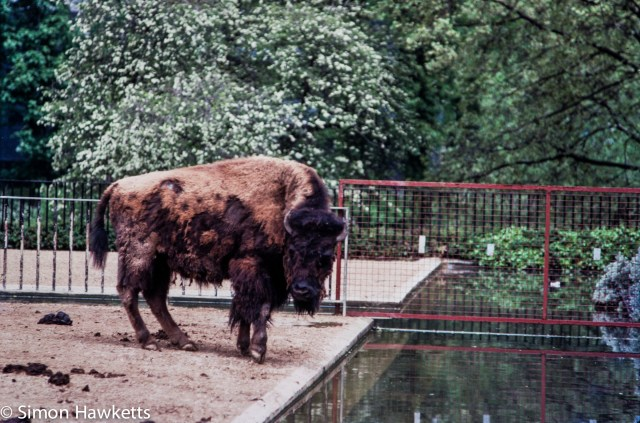 35mm colour slide pictures from London Zoo in the early 1980s - Buffalo