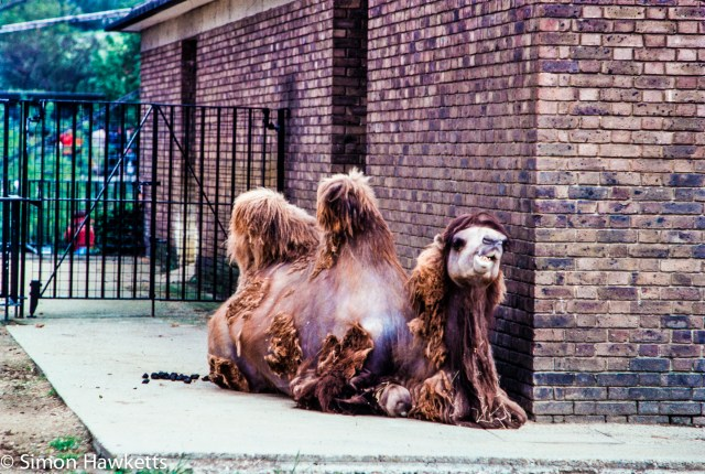 35mm colour slide pictures from London Zoo in the early 1980s - Camel