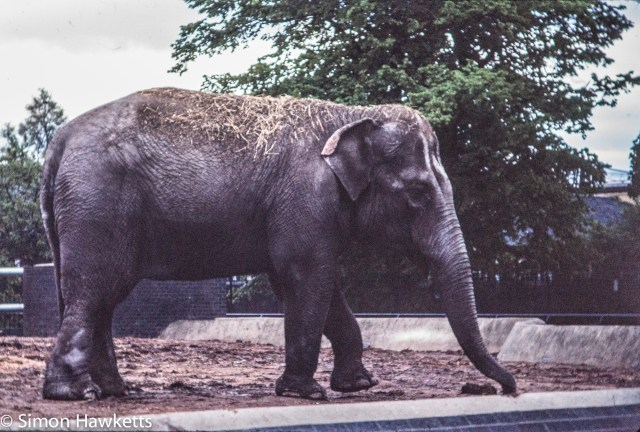 35mm colour slide pictures from London Zoo in the early 1980s - Elephant